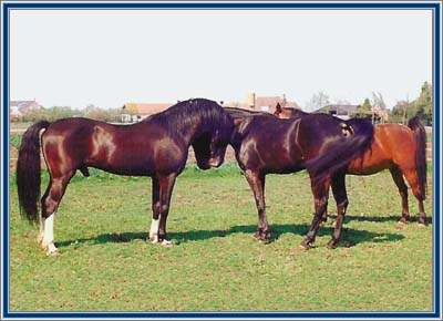 Lad's Black Buster in the meadow, inspecting the two mares.